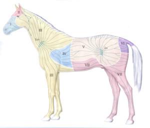 lymfe paard
